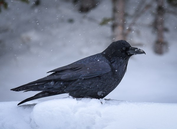 Sounds Common Raven - Rocky Mountain National Park (U S