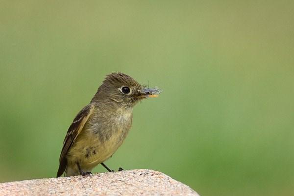 Cordilleran Flycatcher with insects