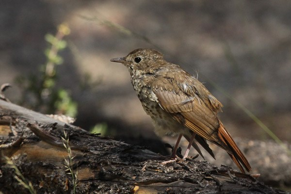 Hermit Thrush - subadult - on a log
