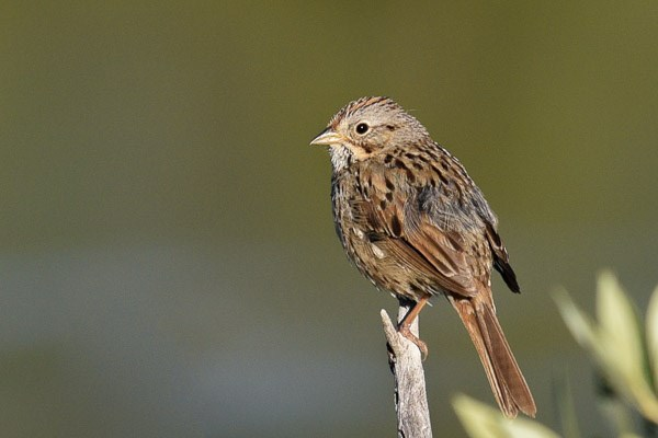 Lincoln's Sparrow on a dead twig