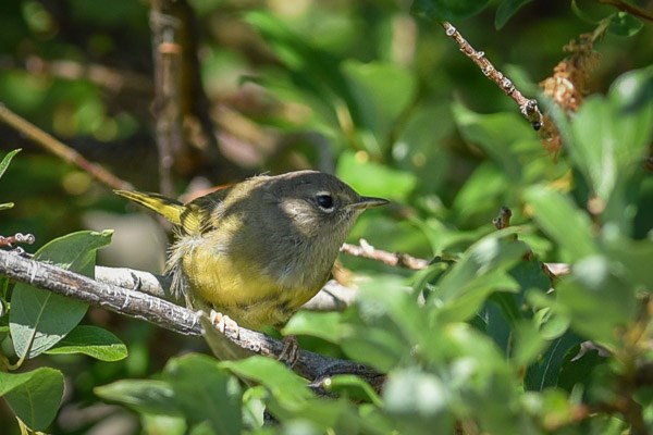 Female/immature MacGillivray's Warbler.