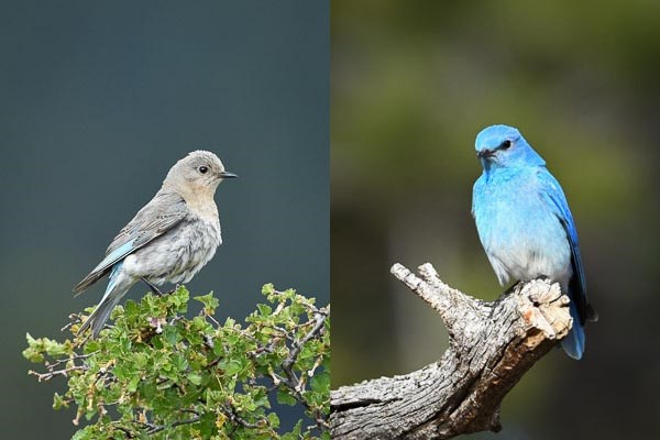 Left: female Mountain Bluebird on Wax Currant bush. Right: male Mountain Bluebird perched on a dead tree branch.