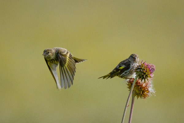 Pine Siskin on thistle flower