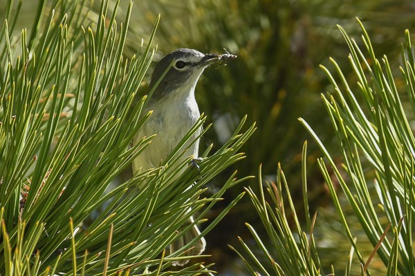 Plumbeous Vireo in a Ponderosa pine tree with insect.