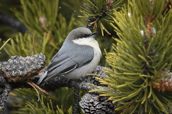 Pygmy Nuthatch in lodgepole pine tree during a light snow.