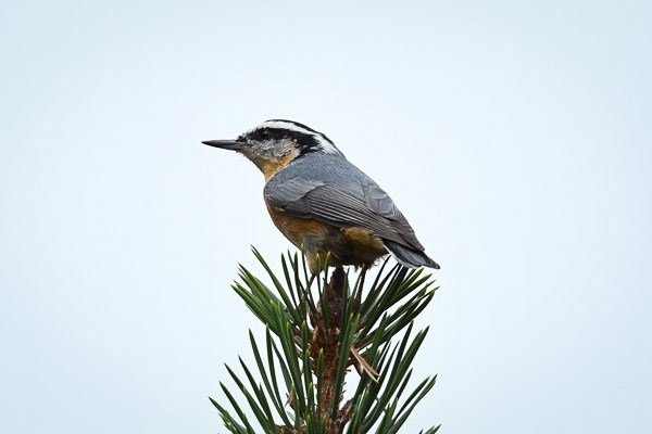 Red-breasted Nuthatch at the top of a Ponderosa pine tree.