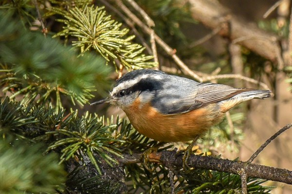 Red-breasted Nuthatch in coniferous tree.