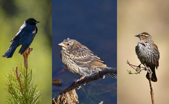 Left: male Red-winged Blackbird. Middle: juvenile Red-winged Blackbird. Right: female Red-winged Blackbird.