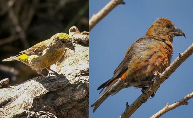 Left: female Red Crossbill. Right: male Red Crossbill.