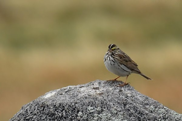 Savannah Sparrow on a rock in Moraine Park.