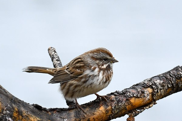 Song Sparrow at Sprague Lake.