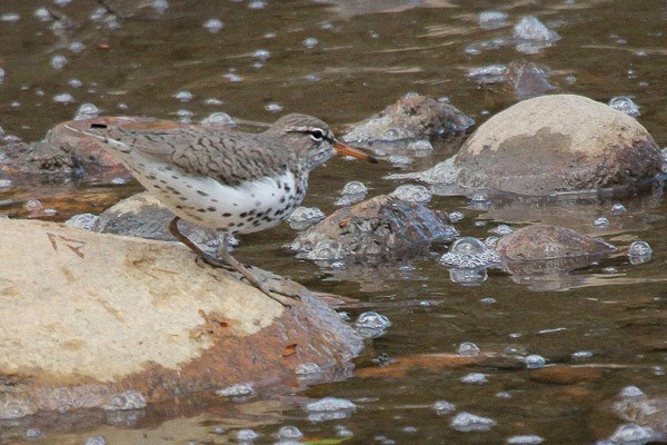 Spotted Sandpiper on a rock in bubbling a stream