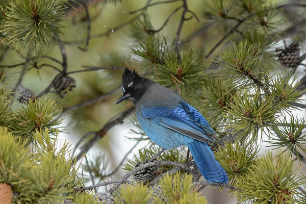 Steller's Jay in lodgepole pine tree during a light snow.