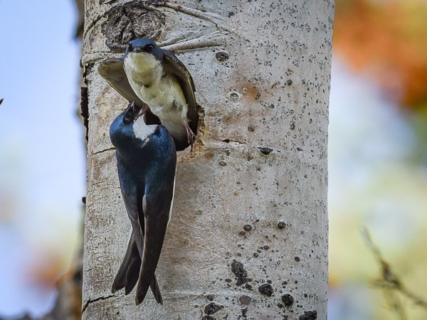 A pair of Tree Swallows at nest site in Aspen tree.