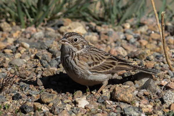 Vesper Sparrow on the ground in Horseshoe Park.
