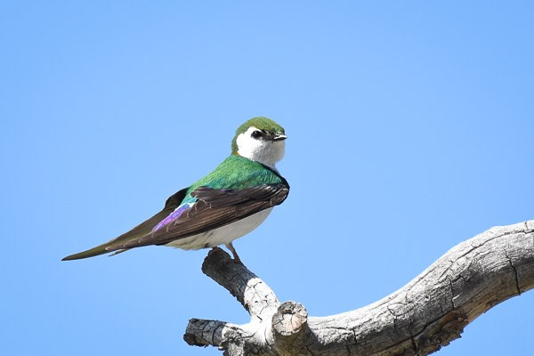 Male Violet-green Swallow on bare branch.