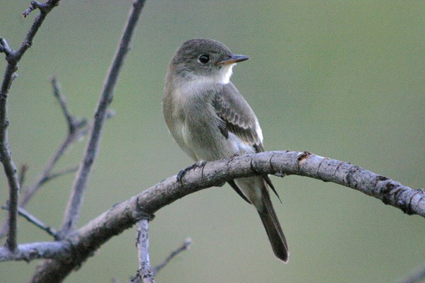 Western Wood-pewee on branch