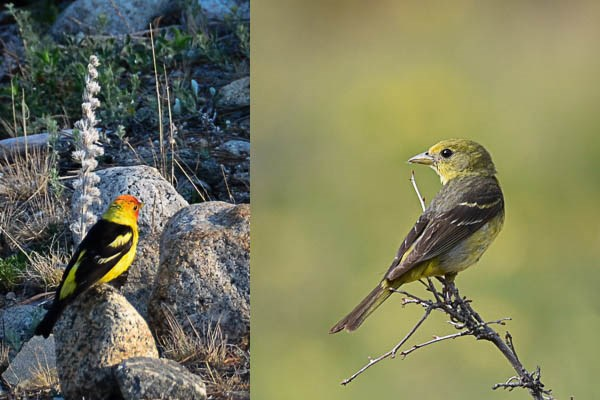 Left: male Western Tanager. Right: female Western Tanager.