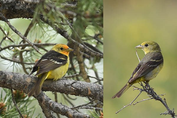 Left: male Western Tanager in ponderosa pine tree. Right: female Western Tanager on a branch in a meadow.