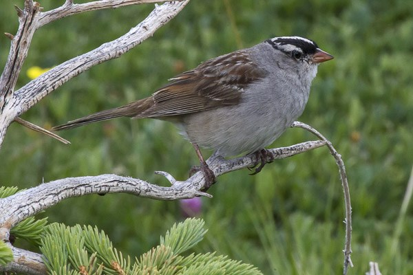 White-crowned Sparrow on branch.