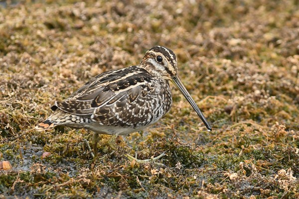 Wilson's Snipe in the grasses at Lily Lake