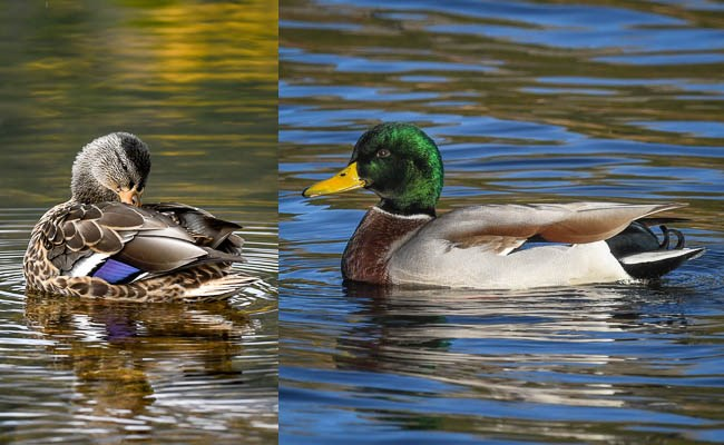 Left: female Mallard preening in the water. Right: male Mallard in water.