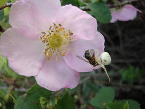 Photo crab spider on a wild rose
