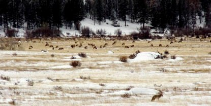Photo elk and coyote in meadow during winter