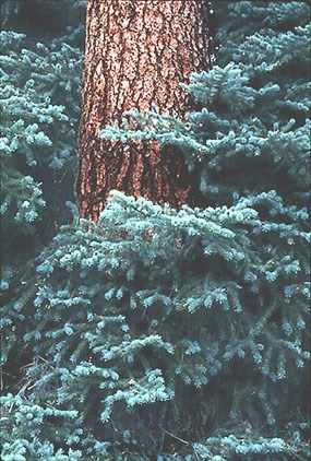 a photo of a spruce tree