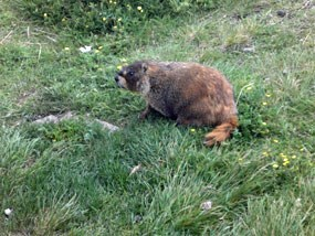 A yellow bellied marmot on the tundra.