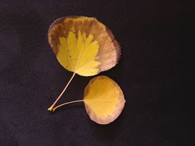 a photo of aspen leaves in the fall