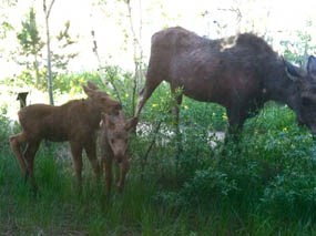 Photo cow moose with twin calves at Kawuneeche Visitor Center