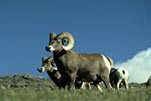 Photo Bighorn sheep ram
