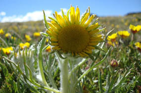 Photo alpine sunflower (rybergia)