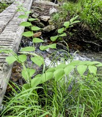 wood bridge over a stream and vegetation