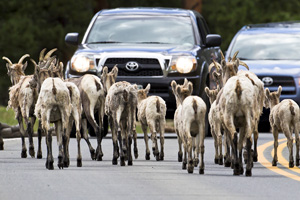 Bighorn sheep share the road with cars