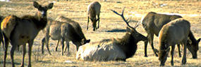 Photo elk bull with harem in meadow.