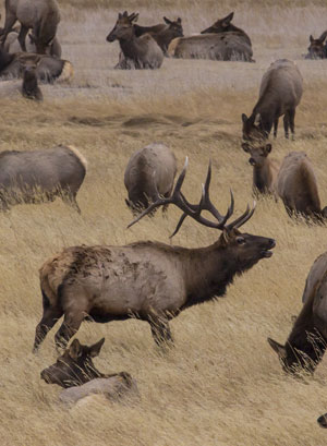 Bugling bull elk with a group of female elk.