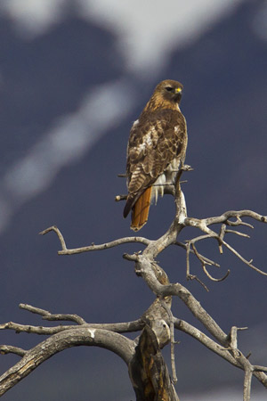 Red-tailed hawk perches on a dead tree.
