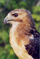 Photo redtailed hawk
