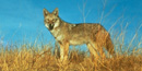 a photo of a coyote
