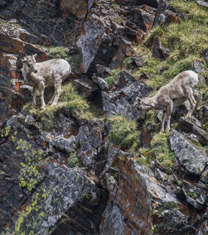 Bighorn sheep lambs maneuver the steep rocky terrain of the park.