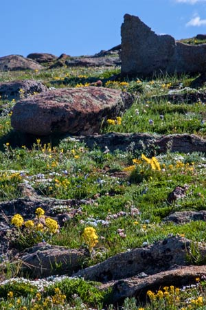Fragile alpine wildflowers cover the tundra.