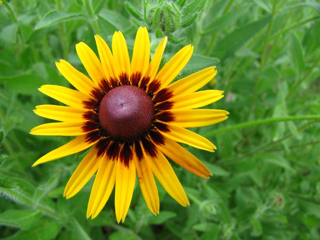 Black-Eyed Susan in wildflower meadow