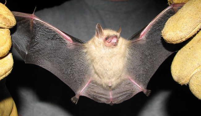 Tricolored Bat