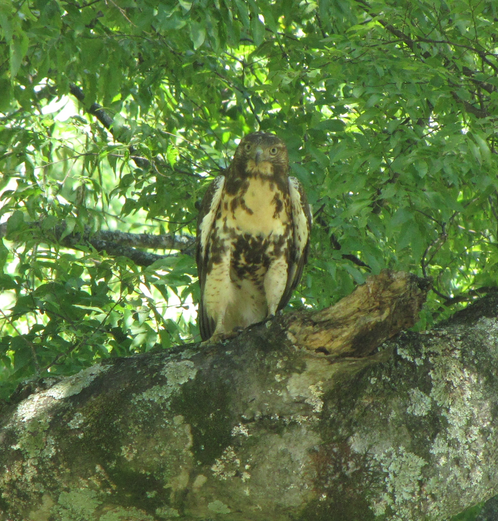 Adolescent Red-Tailed Hawk