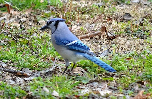 Close up of a blue jay on the ground.