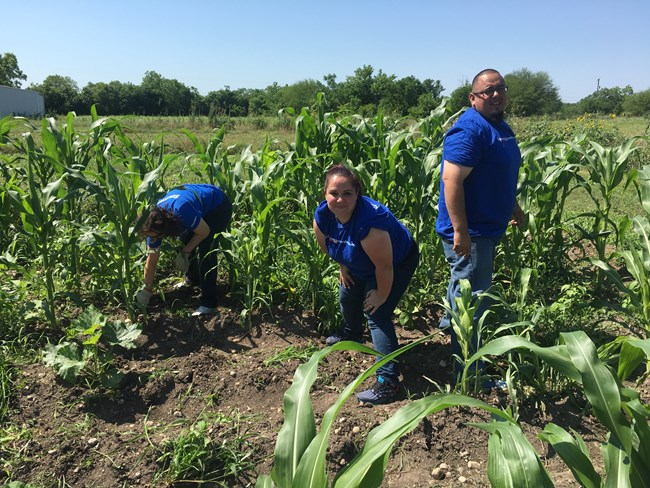 Volunteers work in the corn fields at San Juan Farm