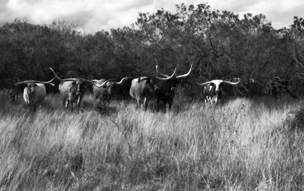Longhorn Cattle in Field