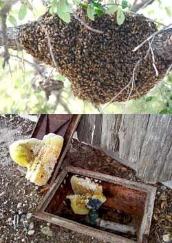 Images of a bee swarm and remnant of a hive